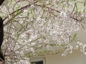 Nyårsafton 20 mars. Blommande äppelträd i tädgården